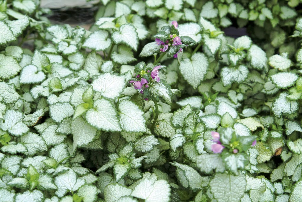 Shade gardening has evolved how to succeed in the shade for Perennial ground cover with pink flowers