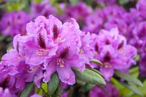 Azaleas Camellias And Rhododendron Care Sloat Garden Center