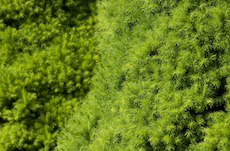dwarf-alberta-spruce