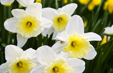 white yellow daffodils