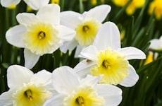 white yellow daffodils