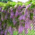 7670-pink-japanese-wisteria-full-shot