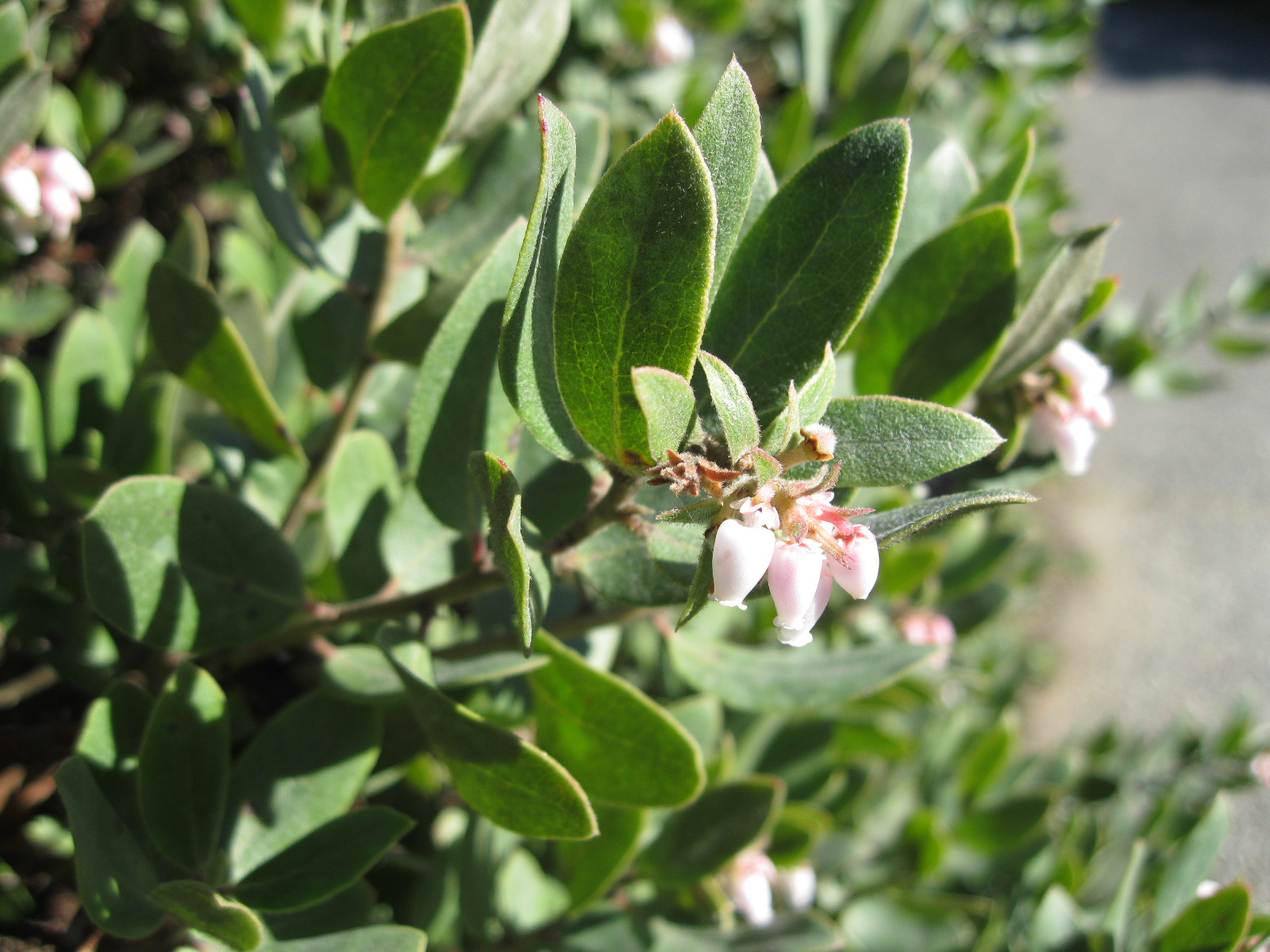 Arctostaphylos Pacific Mist Sloat Garden Center