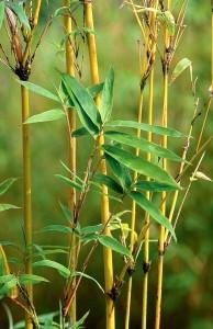 Golden Bamboo Screening
