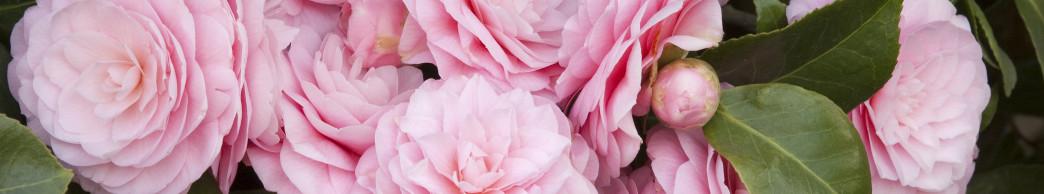 camellia_japonica_pearl_maxwell-jpg