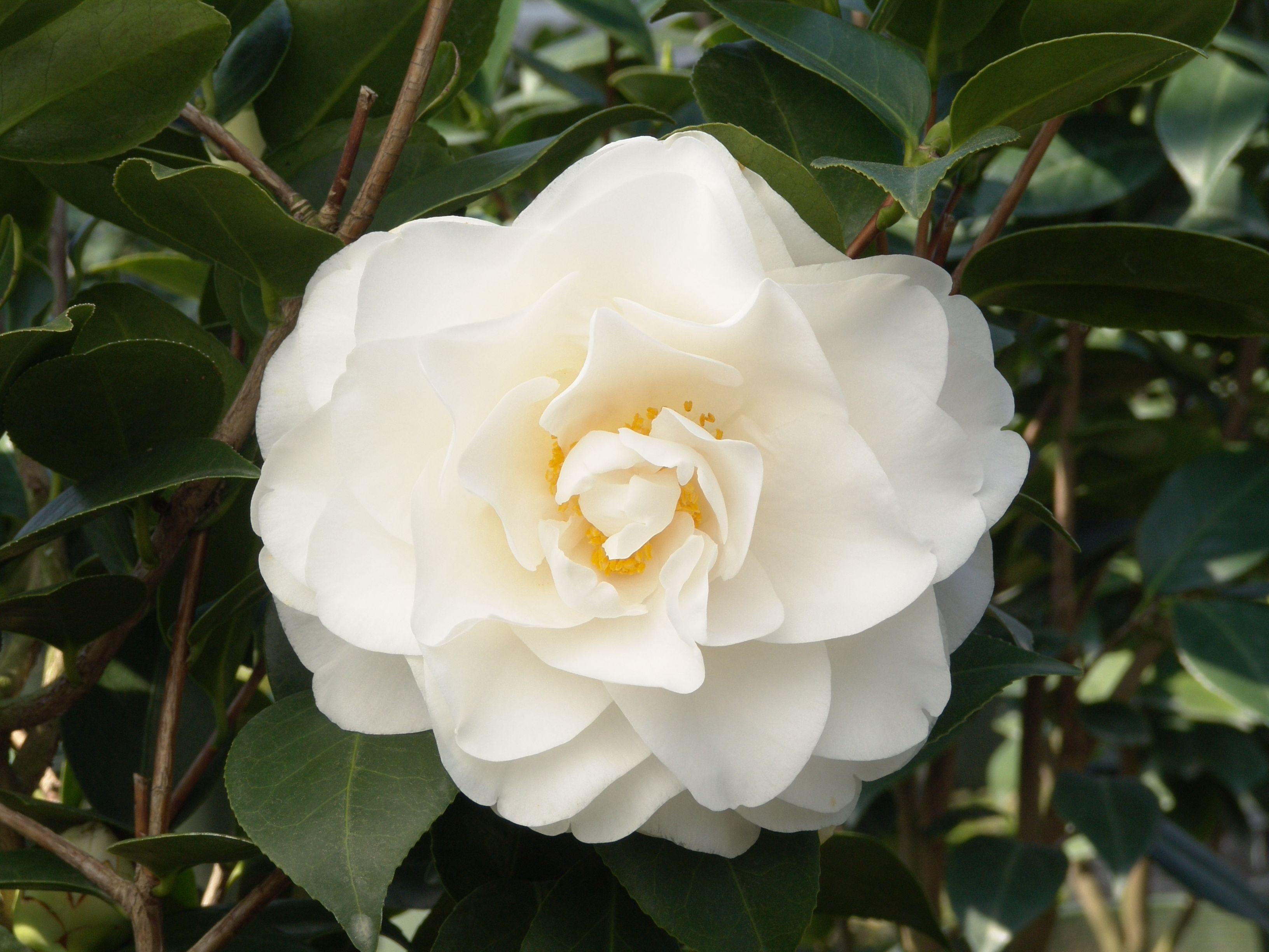 Camellia Japonica Swan Lake Sloat Garden Center