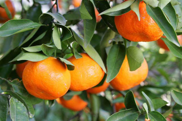 citrus reticulata dancy sloat garden center
