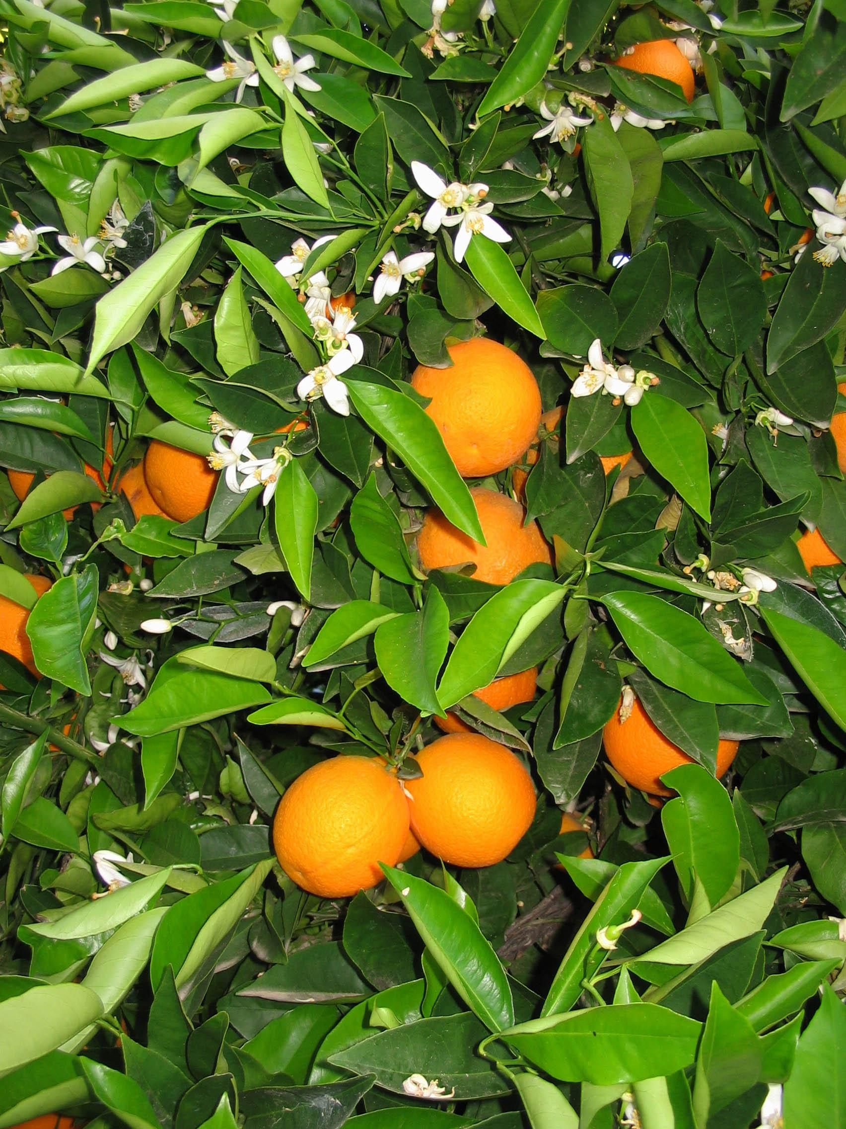 Call Guru Com >> Citrus sinensis 'Washington' - Sloat Garden Center