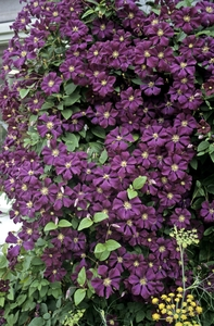 clematis viticella 39 etoile violette 39 sloat garden center. Black Bedroom Furniture Sets. Home Design Ideas