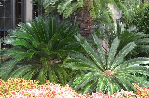 Cycas revoluta sloat garden center for Cycas landscape design