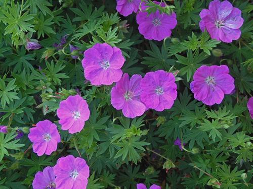 Geranium Sanguineum New Hampshire Purple Sloat Garden