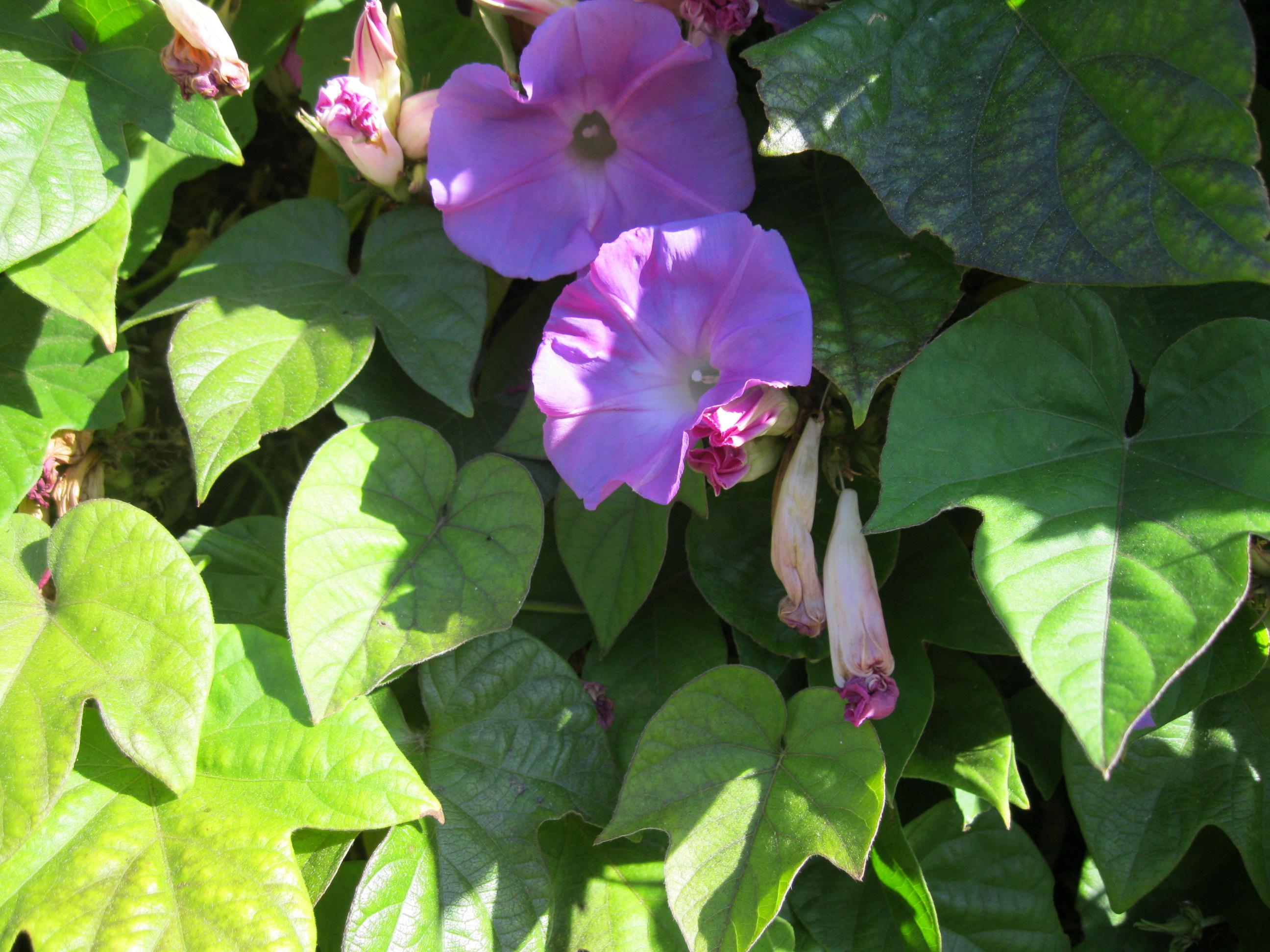 Ipomoea indica sloat garden center tips for success izmirmasajfo