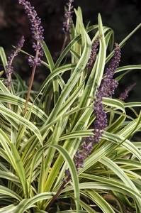 Liriope Muscari Silvery Sunproof Sloat Garden Center