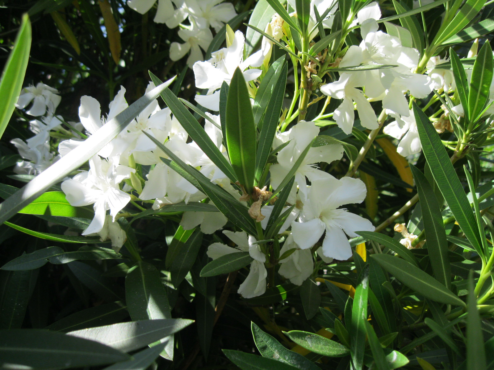 Nerium Oleander White Sloat Garden Center