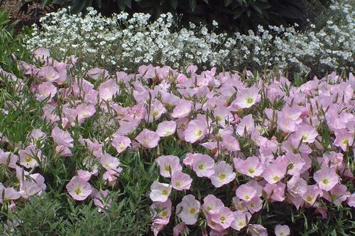 Oenothera Speciosa Siskiyou Sloat Garden Center