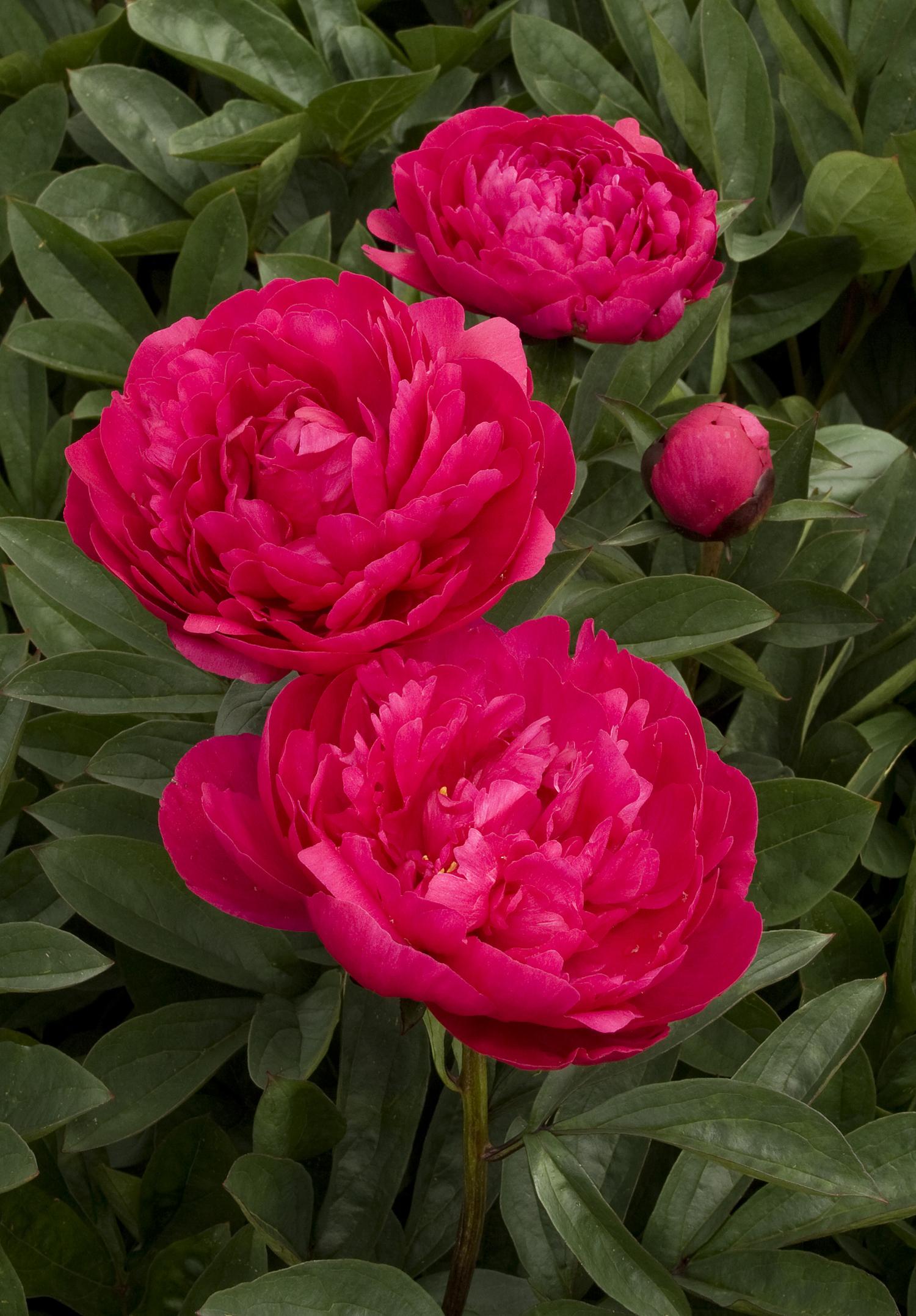 Paeonia Hybrid Kansas Sloat Garden Center