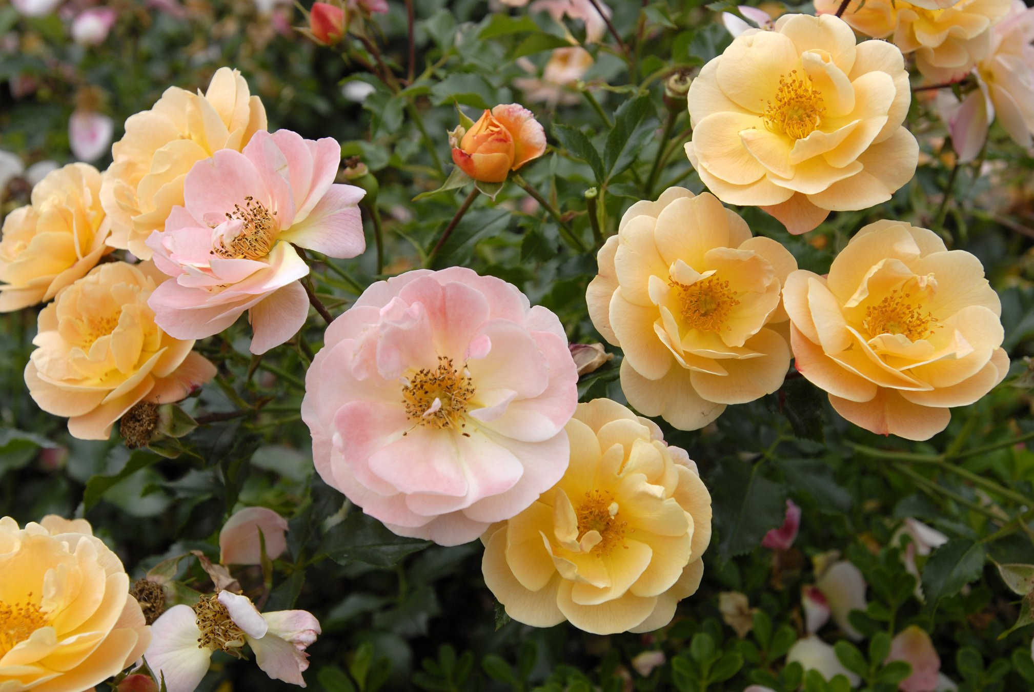 Rosa flower carpet amber sloat garden center amber flower carpet rose mightylinksfo Image collections