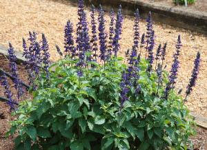 Salvia Longispicata X Farinacea Mystic Spires Blue