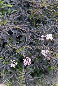 sambucus nigra 39 black beauty 39 sloat garden center. Black Bedroom Furniture Sets. Home Design Ideas