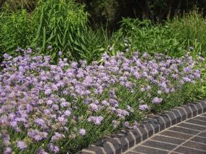 Scabiosa Columbaria Butterfly Blue Sloat Garden Center