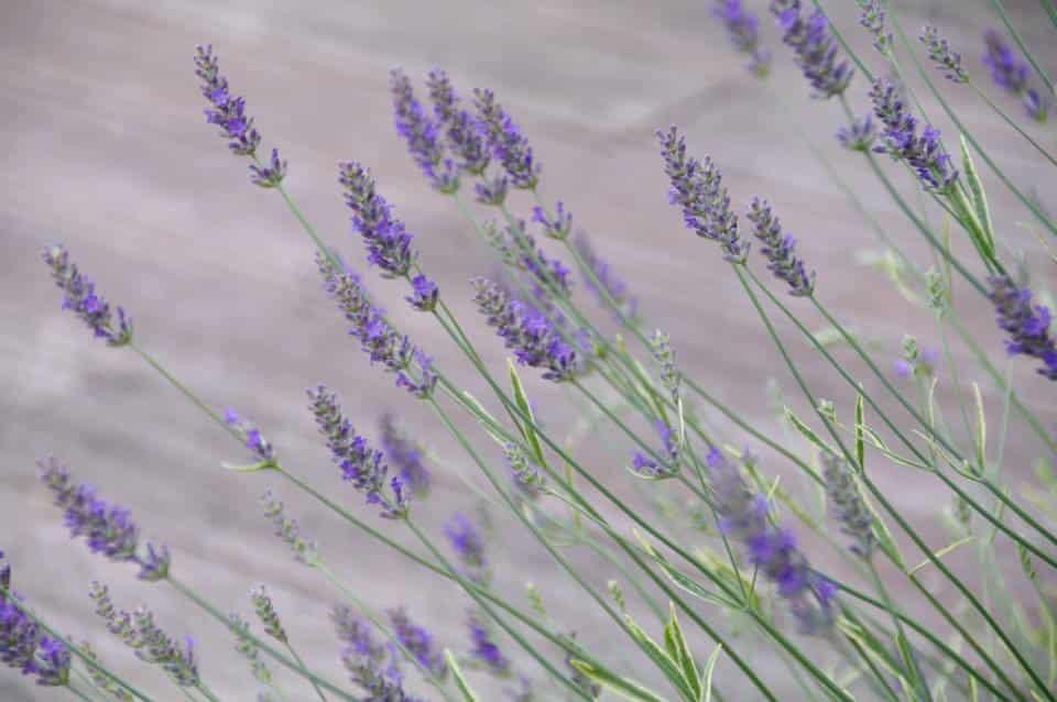 ¿Por qué la lavanda es una gran hierba para plantar en su jardín | La tribuna