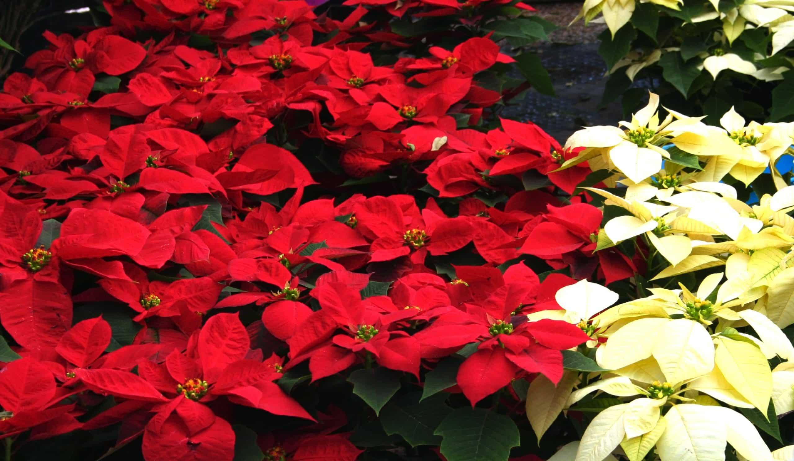 Poinsettias Sloat Garden Center