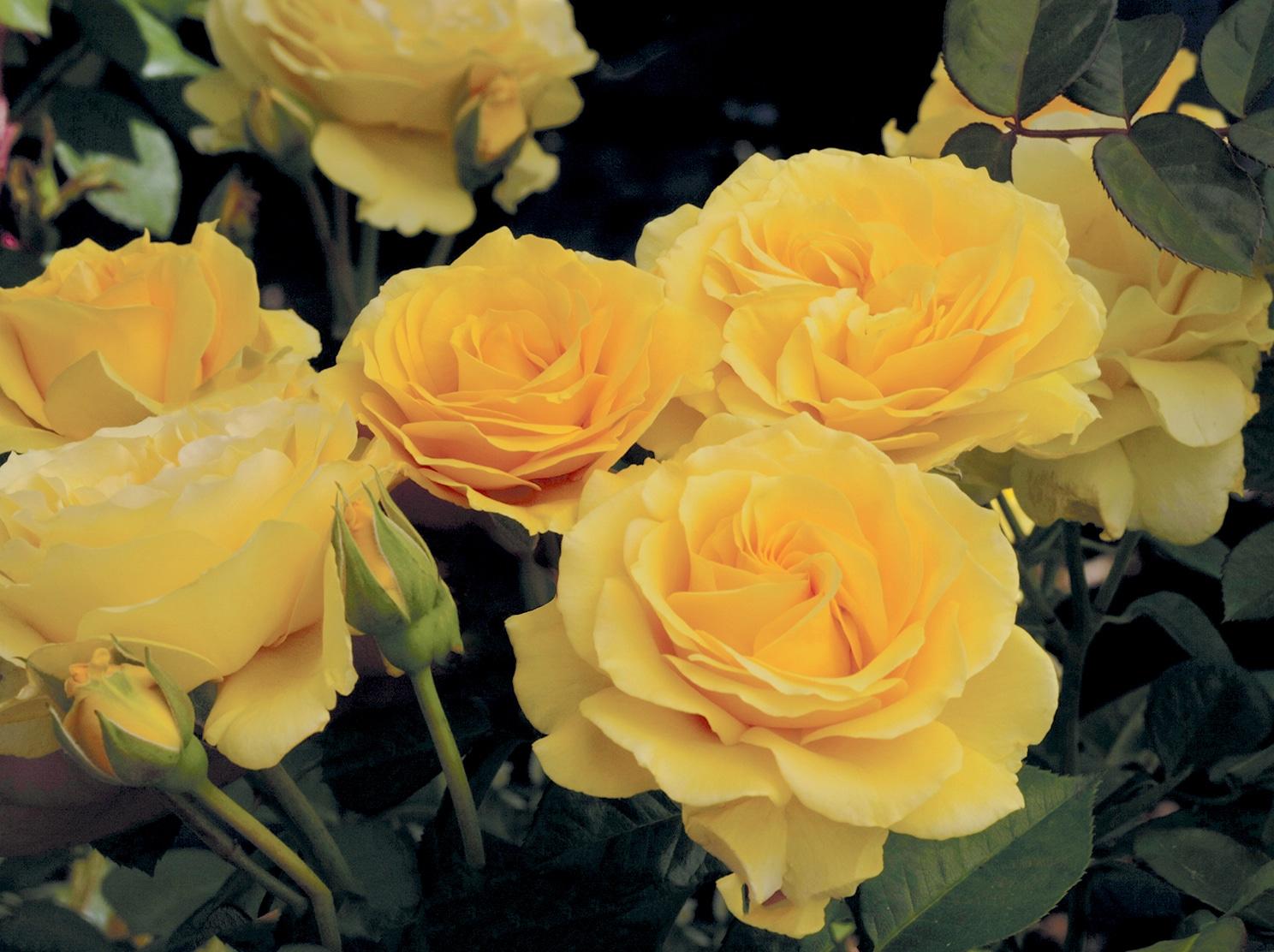 Our 2015 Dormant Roses Have Arrived Sloat Garden Center