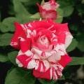 9. Dormant roses (Due week of December 19th)