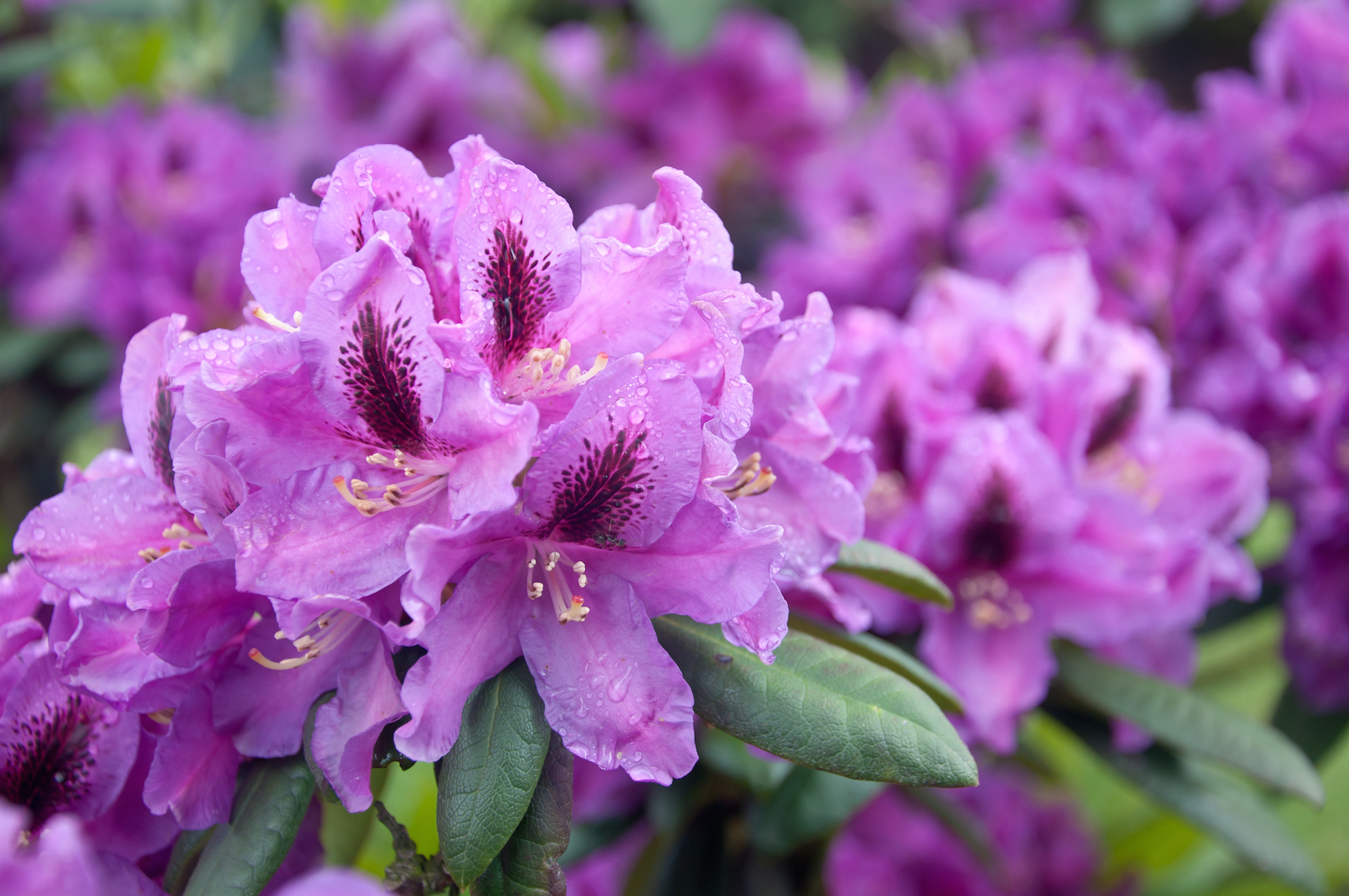 Plant pick for march rhododendron sloat garden center for How to care for rhododendrons after blooming