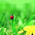 lady bug in grass