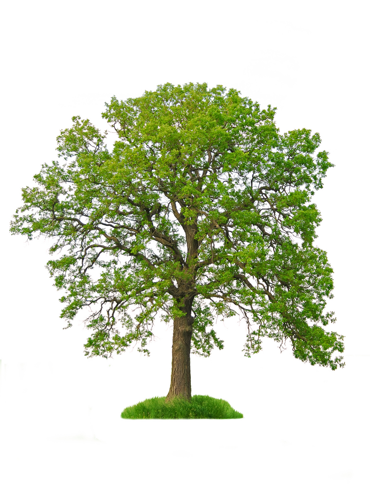 garden alert large trees are suffering due to drought oak tree clip art free images oak tree clip art for headstone