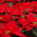 poinsettias header