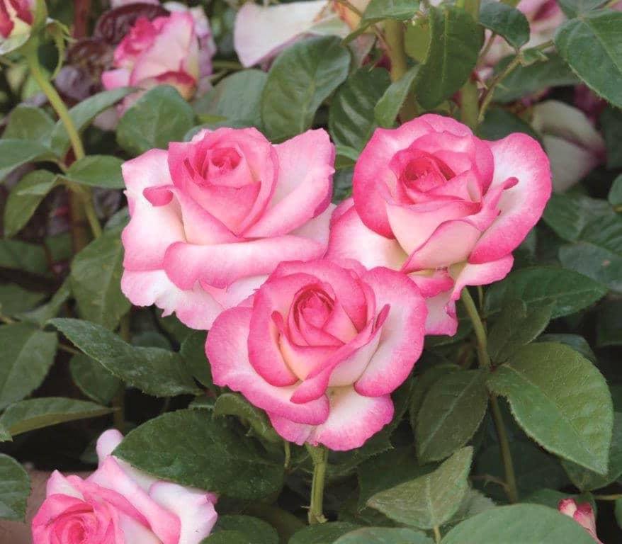 New rose varieties for 2016 sloat garden center - Rose cultivars garden ...