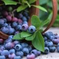 blueberry-wallpaper-3