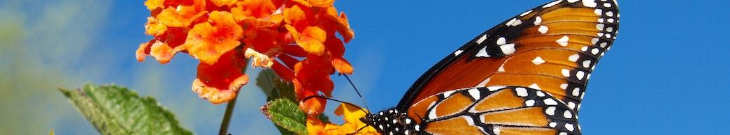 lantana butterfly header