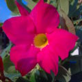 6124-red-riding-hood-mandevilla-close-up-MN