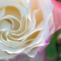 dormant-roses