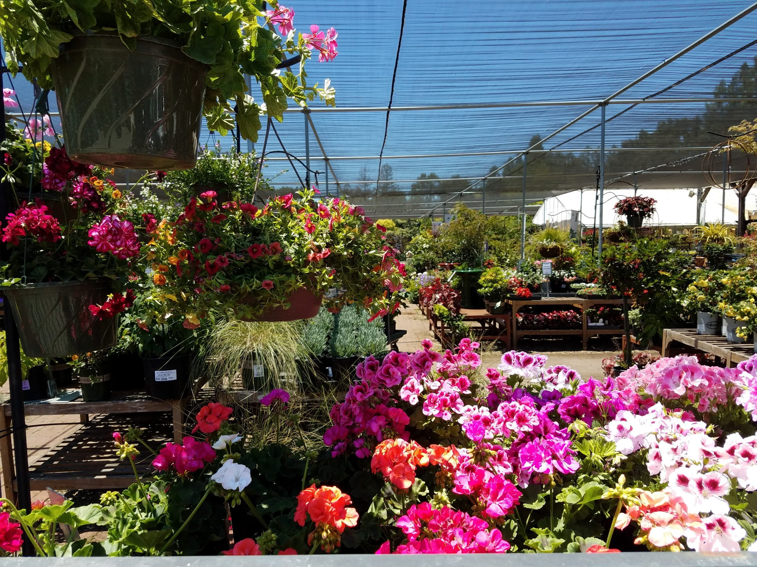 Hanging Baskets And Geraniums For The Sale Diablo Rd Sloat Garden Center
