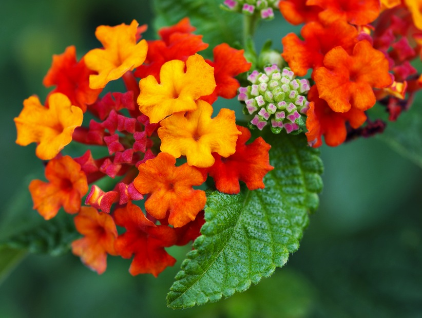 Bay Area Plant Pick For July Lantana Sloat Garden Center