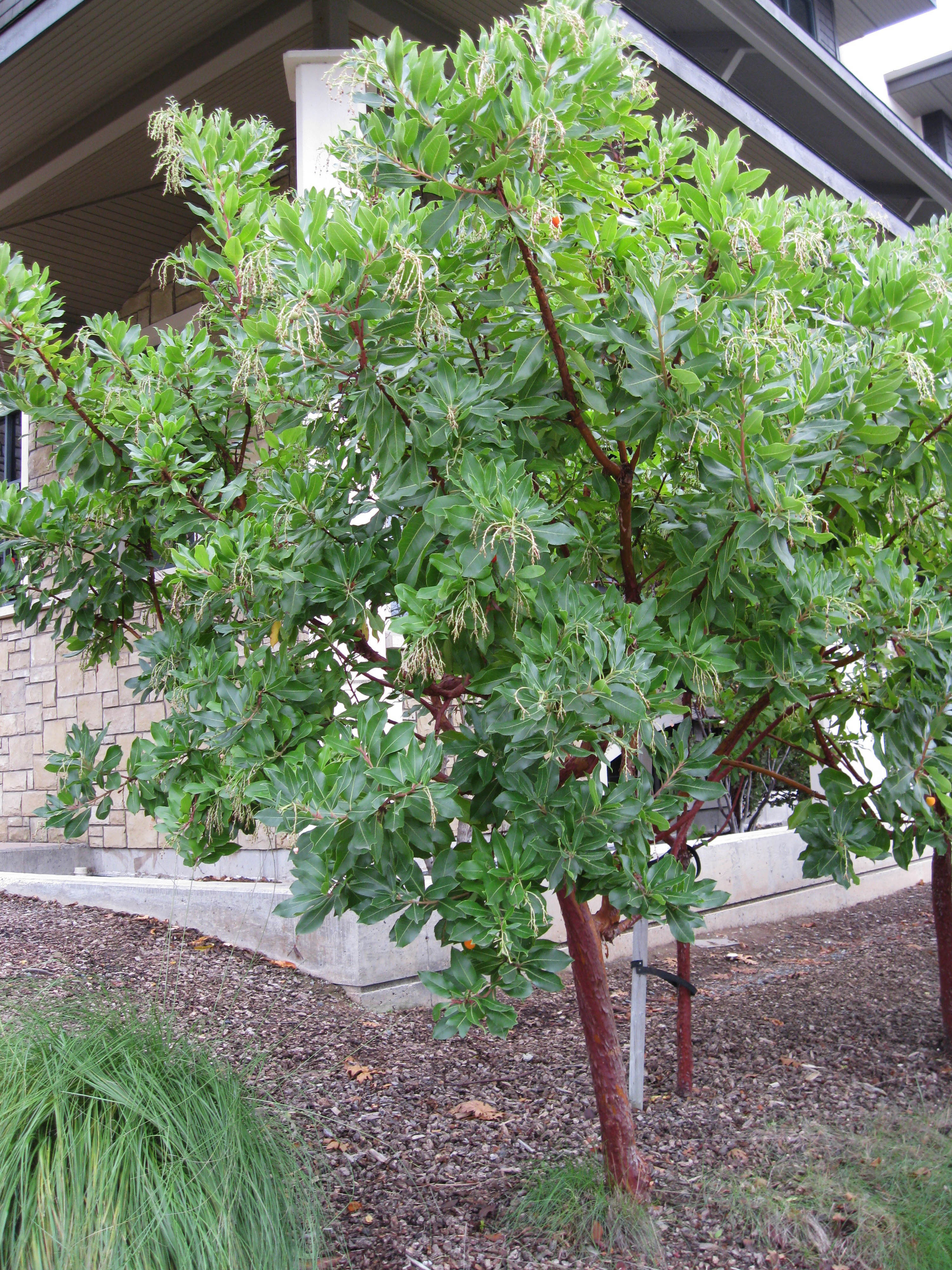 Picture of Live Marina Strawberry tree aka Arbutus 'Marina' multi Tree Plant Fit 5 Gallon Pot