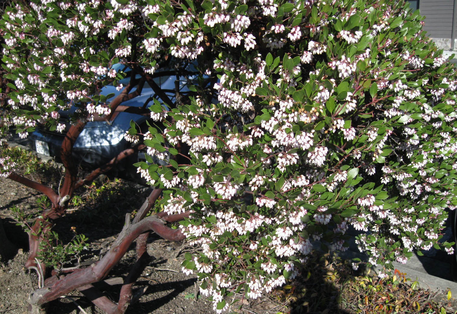 Arctostaphylos Densiflora Sentinel Sloat Garden Center