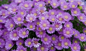 Asters: Profuse medium-small deep purple flowers Flowers have daisy-like centers