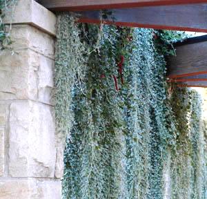 Dichondra Repens Silver Falls Sloat Garden Center
