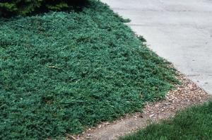 Juniperus Horizontalis Wiltonii Sloat Garden Center