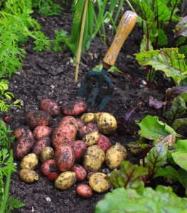 potatoes vegetable garden shutterstock_34004410
