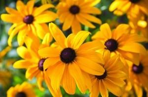Rudbeckia: Sturdy, upright plants with long season of bloom. Huge, light yellow flowers.