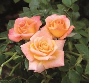 rose CutiePie