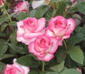 rose MissCongeniality