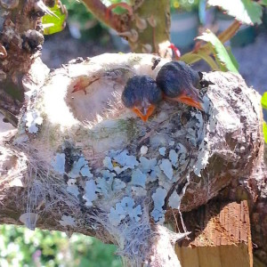 Our baby hummingbirds have hatched and are now big enough to poke their heads over the side of the nest