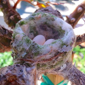 See how Mama hummingbird used spider silk, moss, and lichen to build her nest